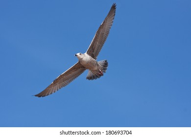 Herring gull with its wings spreads using a thermal to lift