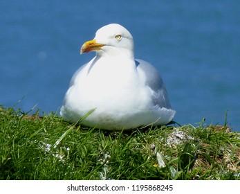 Herring Gull, Yorkshire Coast