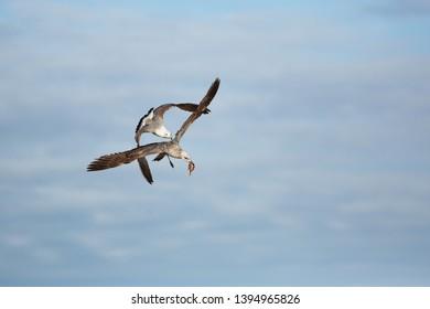 Herring gulls fighting for fish