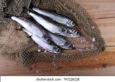Herrings on net. Pacific herring variety