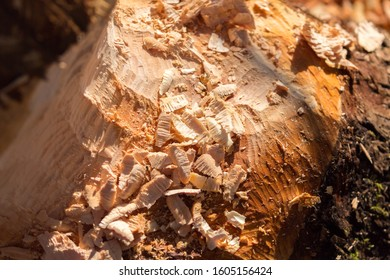 HERRSCHING, BAVARIA / GERMANY - Dec 3, 2019: Close-up of a tree trunk with traces of beaver teeth. In the front wood shavings. Beavers cut down trees for two reasons: food and building dams.