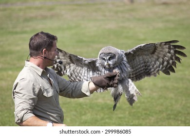 Hertfordshire, England, Circa July 2015, Steve Backshall, Naturalist and wildlife presenter at a live wildlife show with a Great Grey Owl