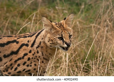 Hesitant Serval cat approaching with mouth open