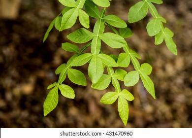 Hesperethusa crenulata (Roxb.) M. Roem., Leaves or Thanaka tree.