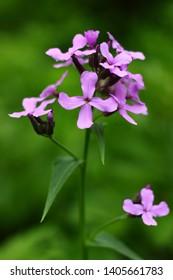 Hesperis matronalis purple field flower