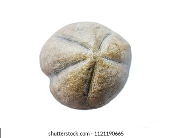 Heteraster oblongus, echinoid echinoderm fossil of the Cretaceous period