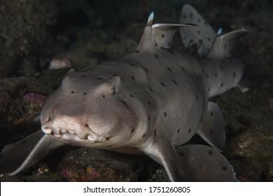 Heterodontus francisci, Horn Shark on a Palos Verdes reef