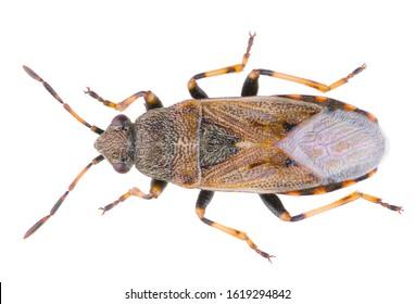 Heterogaster artemisiae is a species of seed bug belonging to the family Heterogastridae. Dorsal view of Heterogaster artemisiae isolated on white background.