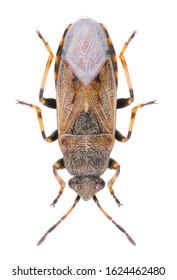 Heterogaster artemisiae is a species of seed bug belonging to the family Heterogastridae. Dorsal view of seed bug Heterogaster artemisiae isolated on white background.