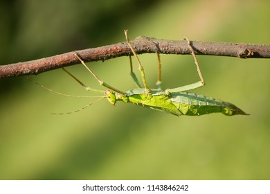 Heteropteryx dilatata, also known as jungle nymph, Malaysian stick insect, Malayan jungle nymph, or Malayan wood nymph, is a large member of the Phasmatodea