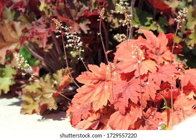 Heuchera bushes with red leaves in the garden