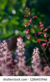 Heuchera Flowers pink on a flowerbed in the summer garden.