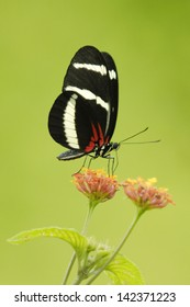 Hewitson's Longwing butterfly (Heliconius hewitsoni) feeding in Costa Rica rainforest