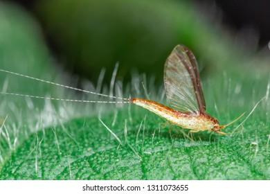 Hi magnification macro Mayfly on green leaf