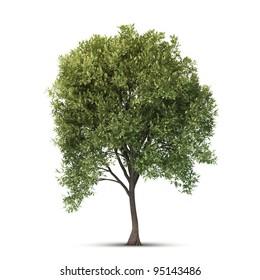 Hi resolution beatiful tree. Isolated image.