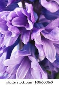 Hiacynt Tło Rozwinięte Kwiaty Fioletowe - Shutterstock ID 1686500860