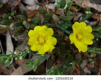 Hibbertia wildflower Western Australia