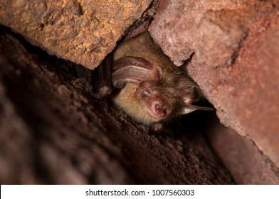 Hibernating brown long-eared bat or common long-eared bat (Plecotus auritus) in a crevice between bricks