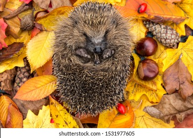 Hibernating hedgehog, (Scientific name: Erinaceus europaeus). Wild hedgehog  curled into a ball in Autumn with colourful Autumn leaves, conkers and rosehips. Facing forward. Horizontal. Space for copy