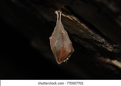 Hibernating Lesser horseshoe bat (Rhinolophus hipposideros) in the cave