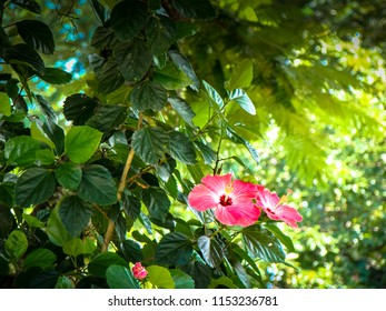 Hibisco, scientific name Hibiscus rosa-sinensis of the family Malvaceae, has beautiful flowers and leaves and is the symbol flower of Hawaii