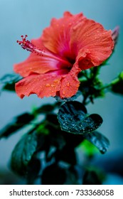 Hibisco Yellow Flower