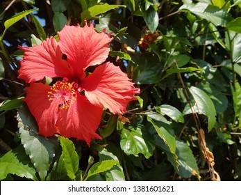 Hibiscos Rosa Sinensis. Chinese Hibiscus