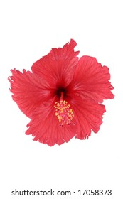 Hibiscus blossom  isolated flower on a white