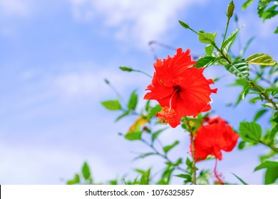 hibiscus and blue sky