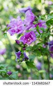 a hibiscus bush blooming with purple flowers in the garden - Hibiscus syriacus LAVENDER CHIFFON
