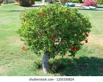 Hibiscus, Chinese Rose, Sudanese Rose
