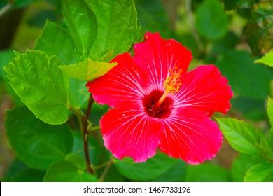 hibiscus flower is beautiful in Okinawa Japan
