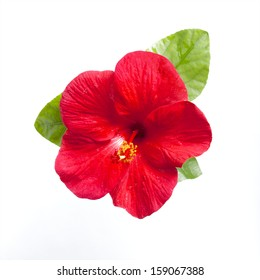hibiscus flower with branch isolated on white background