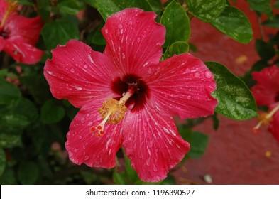 Hibiscus Calyx Images Stock Photos Vectors Shutterstock
