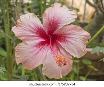 Hibiscus flower in the garden selective focus
