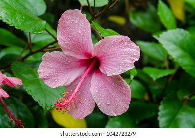 Hibiscus flower in the garden with water drops . Detail of the stamen and pistil