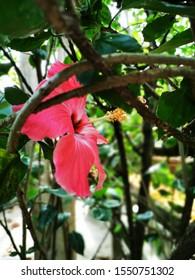 hibiscus flower  hidden in the bush
