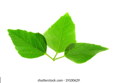 Hibiscus flower leaves