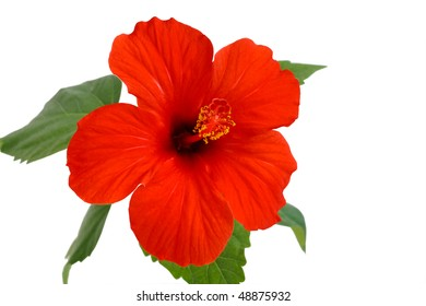 hibiscus flower is a flower of love