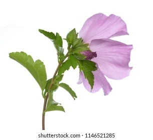 Hibiscus flower, the mallow family, Malvaceae