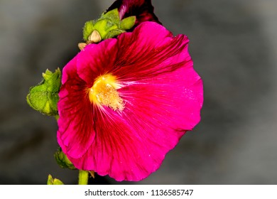 Hibiscus, flower of the medicinal plant