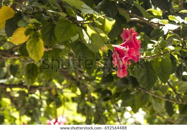 Hibiscus Flower in nature.