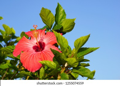 Hibiscus  flower in Okinawa, Japan