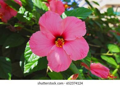 Hibiscus Flower Pink Color Algarve Portugal