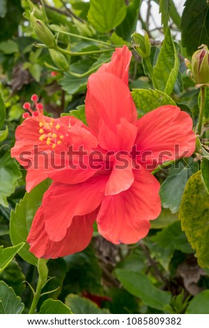 Hibiscus Flower Red Double Flowered Tree Stock Photo Edit Now