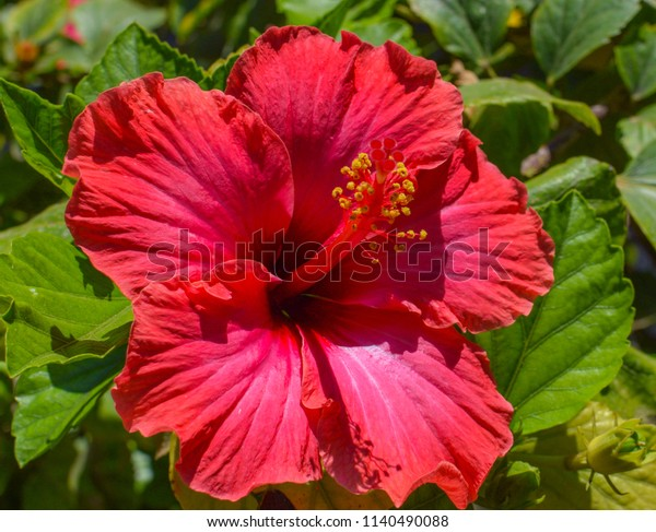Hibiscus Flower Red Pink Color Macro Stock Photo Edit Now 1140490088