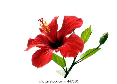Hibiscus flower and shoot isolated