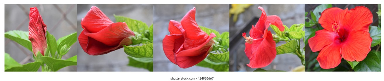 Hibiscus flower stages- Five stages of growth red hibiscus flower