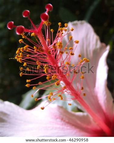 Hibiscus Flower Stigma Stock Photo Edit Now 46290958 Shutterstock
