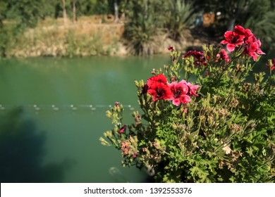 Hibiscus flowers along the Jordan River, where Jesus was baptized by John the Batist, in Israel